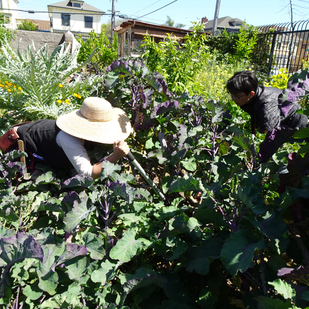 Photo of two people bent over a large patch of kale, harvesting it with sheers.